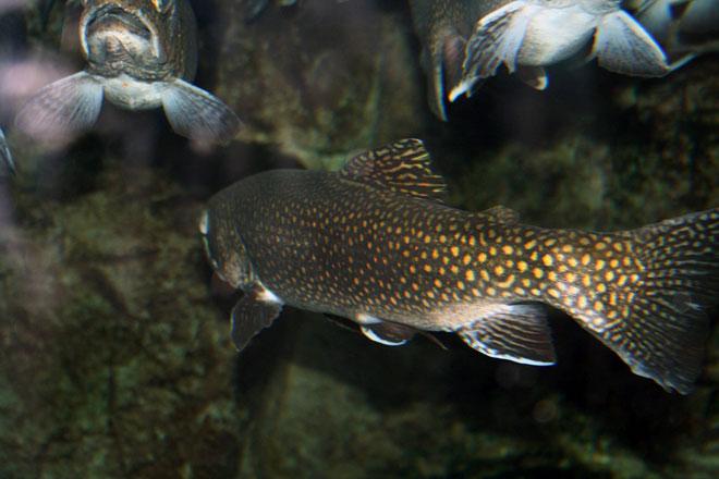 Аквакультура, разведение рыбы, форель